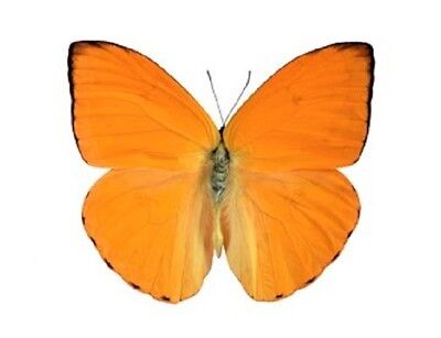 One Real Butterfly Orange Yellow Phoebis Argante Unmounted Wings Closed