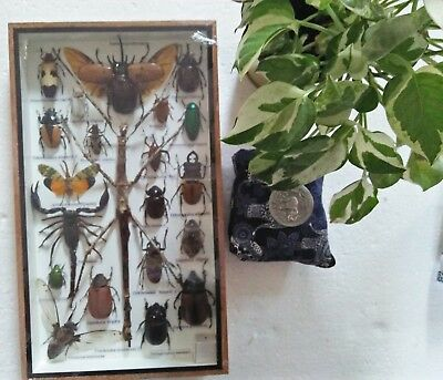 Mix Real Beetle Cicada Spider Stick Insect Bug Taxidermy Display in Framed Box