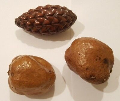 2 Dom (Doum) Palm Fruit- Ancien Egyptians have been eating for 1000s of years