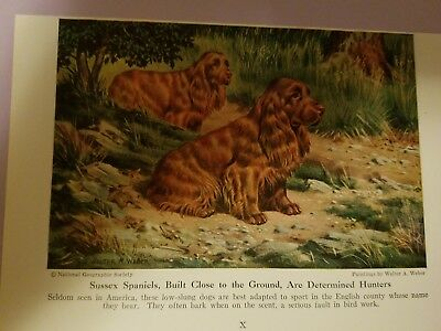 Walter A. Weber SUSSEX SPANIEL from bookplate 1947 National Geographic Magazine