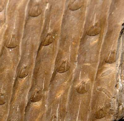 Sigillaria rugosa, Perfectly preserved Carboniferous fossil plant