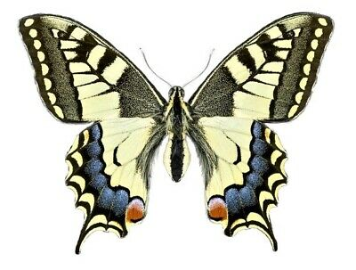 One Real Butterfly Papilio Machaon Oregonius Female Unmounted Wings Closed