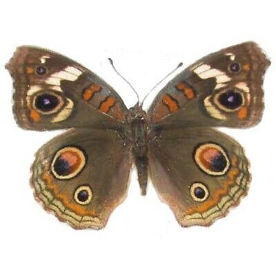 One Real Butterfly Precis Coenia Buckeye Usa Unmounted Wings Closed
