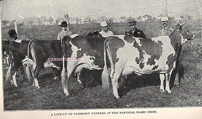 Vintage GUERNSEY PRIZE WINNERS AT NATIONAL DAIRY SHOW CATTLE Cow 1910 Art Print