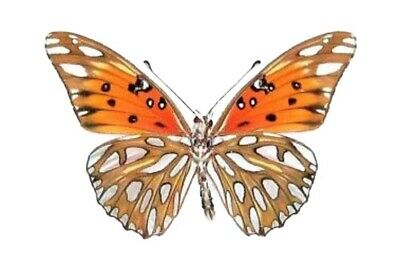 Real Butterfly Silver Gulf Fritillary Agraulis Vanillae Unmounted Wings Closed