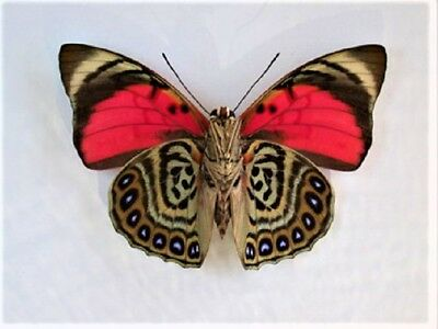 One Real Butterfly Red Agrias Claudina Lugens Verso Unmounted Wings Closed