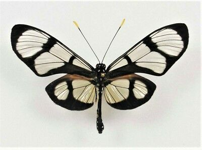 One Real Butterfly Glass Clear Wing Thyridia Unmounted Wings Closed