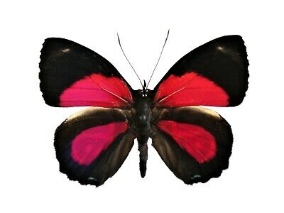 One Real Butterfly Red Paulogramma Peristera Peru Unmounted Wings Closed