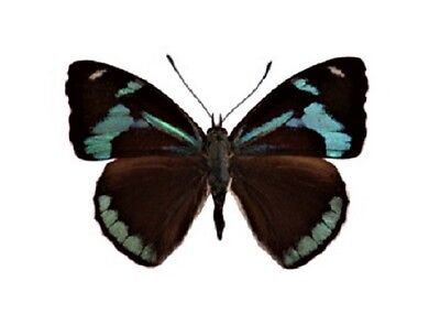 One Real Butterfly Blue Perisama Hilara Peru Unmounted Wings Closed