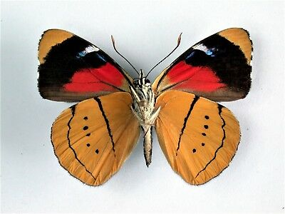 One Real Butterfly Gold Perisama Humboldti Verso Peru Unmounted Wings Closed