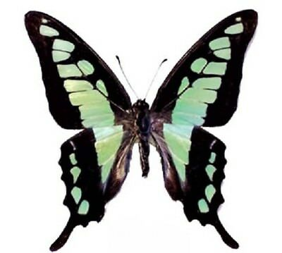 One Real Butterfly Blue Green Graphium Cloanthus Unmounted Wings Closed