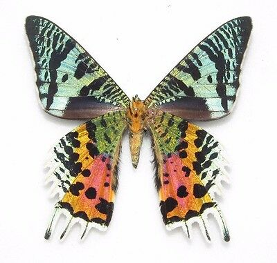 Wholesale Lot Of 10 - Real Sunset Moth Verso Madagascar Unmounted Wings Closed