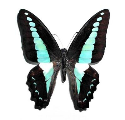 Wholesale Lot Of 10 - Real Butterfly Blue Graphium Sarpedon Wings Closed