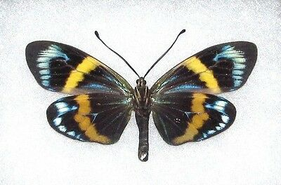 Lot Of 10 - Real Butterfly Blue Eterusia Repleta Moth Unmounted Wings Closed