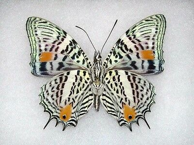 Lot Of 10 - Real Butterfly Peruvian Baeotus Amazonicus Unmounted Wings Closed