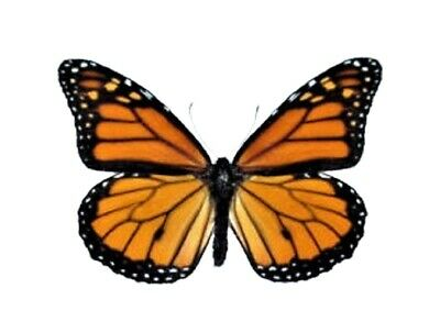 Lot Of 10 - Real Butterfly Monarch Danaus Plexippus Unmounted Wings Closed