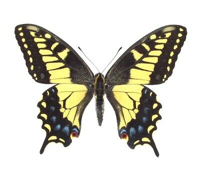 Lot Of 10 - Real Butterfly Tiger Swallowtail Papilio Zelicaon Wings Closed