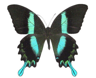 Lot Of 10 - Real Butterfly Blue Green Papilio Blumei Unmounted Wings Closed