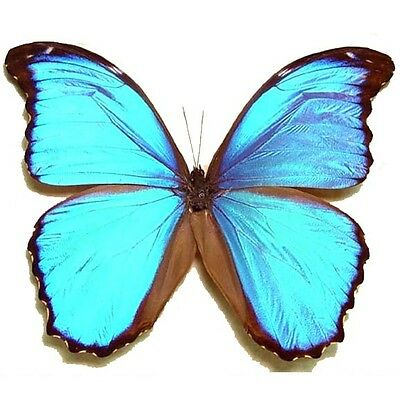 Lot Of 10 - Real Butterfly Blue Morpho Menelaus Papered Unmounted Wings Closed