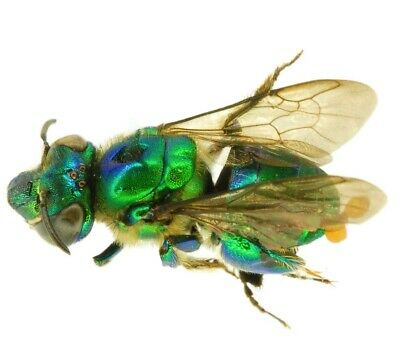 Lot Of 10- Real Green Euglossini Sp Orchid Bee Wasp Central America Wings Closed