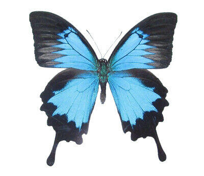 Lot Of 10- Real Butterfly Blue Indonesian Papilio Ulysses Unmounted Wings Closed