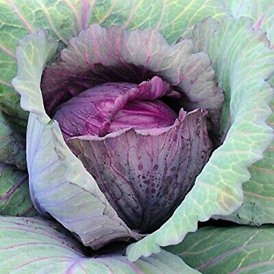Cabbage Mammoth Red Rock HEIRLOOM ORGANIC SEEDS COMBINED SHIPPING