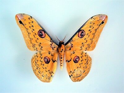One Real Saturn Moth Yellow Loepa Megacore Unmounted Wings Closed