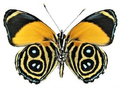 One Real Butterfly Yellow Blue Callicore Eunomia Verso Unmounted Wings Closed