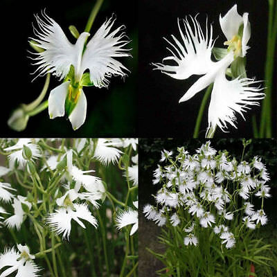 100 White Egret Orchid Seeds Rare Beautifully For Home Garden Flower Seed HOT