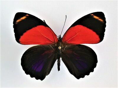 One Real Butterfly Red Callicore Maimuna Unmounted Wings Closed
