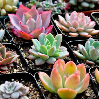 100 Rare Mix Succulent Plants Seeds Multicapacity Process Organic Bulk Seed New