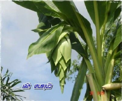 Snow Banana Ensete Glaucum Tropical Fruit 5 Seeds