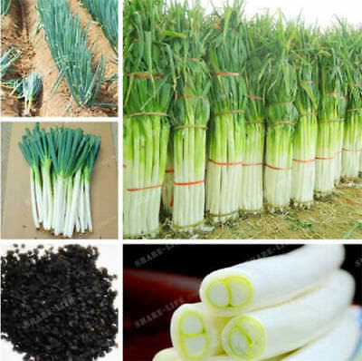 100 Pcs Giant Chinese Green Onion Seed Home Garden Bonsai Plant Rare Vegetable