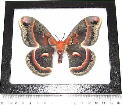 Real Framed Saturn Moth Hyalophora Cecropia Rare Form Female