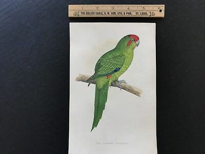 New Zealand Parakeet Hand Colored A F Lydon 19th Century Print FREE US SHIPPING