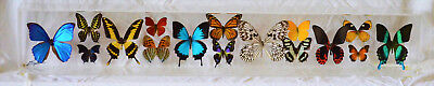 Outstanding Acrylic Display of 16 Real Butterflies signed by Sam Trophia - MINT
