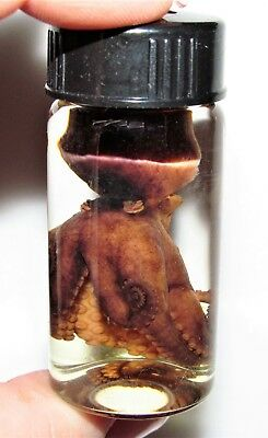Real Red Purple Octopus Preserved 2.5In Vial Wet Specimen Taxidermy