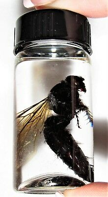 REAL BLACK MALAYSIAN HORNET WASP BEE PRESERVED WET SPECIMEN 2.5in VIAL