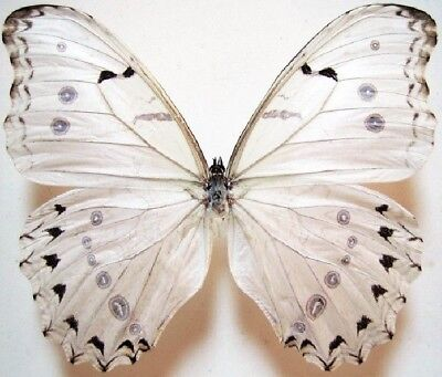 One Real Butterfly White Morpho Luna -Antennae Unmounted Wings Closed