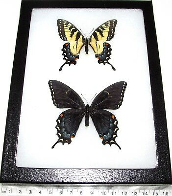 REAL FRAMED BUTTERFLIES Papilio Glaucus Tiger Swallowtail Pair Male ...