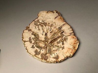 Decoration / Natural piece of Art / Petrified Wood Slice
