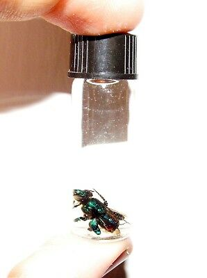REAL BLUE GREEN EUGLOSSINI ORCHID BEE WASP CENTRAL AMERICA WET SPECIMEN 2in VIAL