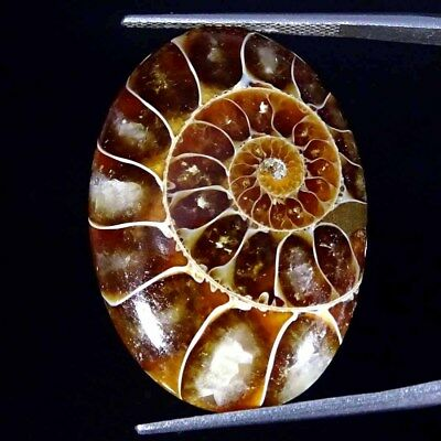 29.00Cts 100% Natural Designer Ammonite Fossil Oval Cabochon Loose Gemstone