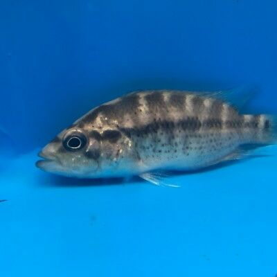 Dovii Cichlid 2 In Length Live Tropical Fish 2999 Picclick