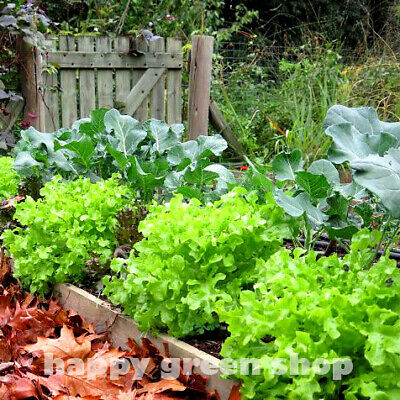 LETTUCE - LITTLE GEM - 7500 SEEDS - Lactuca sativa