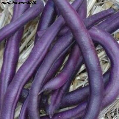 Bean Royalty Purple 25+ SEEDS HIGHLY PRODUCTIVE! EASY! STRONG! UPRIGHT BUSH!