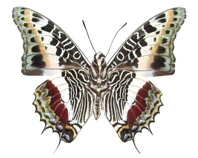 One Real Butterfly Red Green Charaxes Castor Verso Unmounted Wings Closed