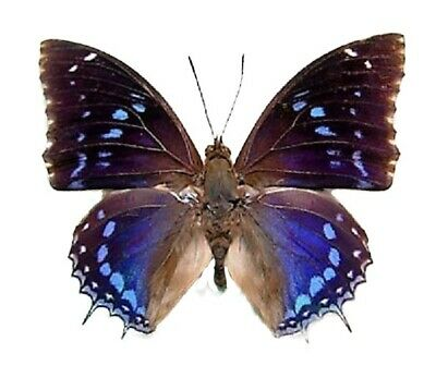 One Real Butterfly Blue Charaxes Numenes Africa Unmounted Wings Closed