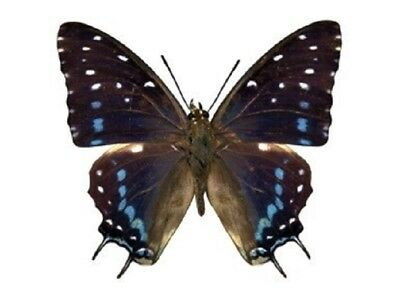 One Real Butterfly Blue Charaxes Etesipe Africa Unmounted Wings Closed