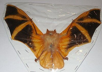 Kerivoula Picta Asian Painted Spread Wing Real Bat Indonesia Taxidermy Fast Ship